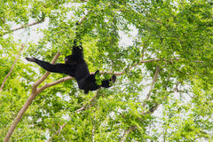 Siamang Gibbon hanging Stock Photos