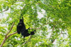 Siamang Gibbon hanging Stock Photo