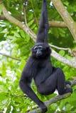 Siamang Gibbon Stock Photo