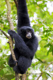 Siamang Gibbon. Hanging in the trees in Malaysia Stock Photos