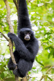 Siamang Gibbon. Hanging in the trees in Malaysia royalty free stock photo