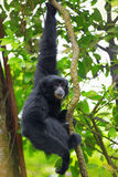 Siamang Gibbon Stock Images