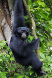 Siamang Gibbon. Hanging in the trees in Malaysia stock photography