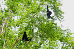 Siamang Gibbon hanging Stock Images