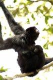 Siamang gibbon, Hylobates Syndactylus Stock Image