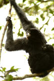 Siamang gibbon, Hylobates Syndactylus, Hill Fraser, Pahang, Μαλαισία Στοκ εικόνες με δικαίωμα ελεύθερης χρήσης