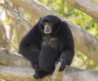 Siamang Gibbon Royalty Free Stock Photography