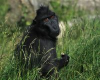Siamang gibbon looking towards the camera. The siamang is an arboreal black-furred gibbon native to the forests of Indonesia, Malaysia and Thailand. The largest royalty free stock photos