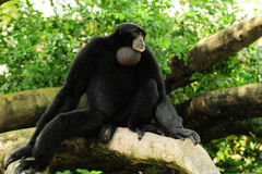 Siamang Gibbon Monkey. A Siamang Gibbon monkey sitting on a tree branch in a South Florida zoo stock images