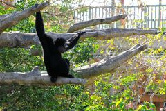 A Siamang Gibbon Monkey Stock Photography