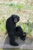 Siamang gibbon near pond Royalty Free Stock Image