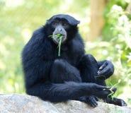 Siamang Gibbon Royalty Free Stock Images