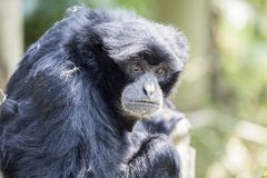 Siamang Gibbon Stock Photo