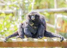 Siamang Gibbon Royalty Free Stock Photo