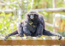 Siamang Gibbon Royalty Free Stock Photo