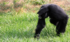 Siamang Gibbon Stock Images
