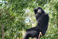 Siamang Gibbon (Symphalangus Syndactilus) Stock Photos