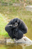 The Siamang Gibbon(Symphalangus syndactylus) is drinking Royalty Free Stock Image
