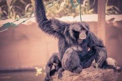 Siamang Gibbon Symphalangus syndactylus stock images