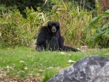 Siamang Gibbon / Symphalangus syndactylus portrait sitting stock photography