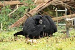 Siamang gibbon. Stock Photography