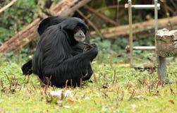 Siamang gibbon. Royalty Free Stock Images