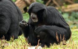 Siamang gibbon. Royalty Free Stock Photo