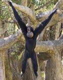 Siamang Gibbon Wiszący Out Zdjęcie Royalty Free
