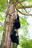 Siamang Gibbons Stock Images