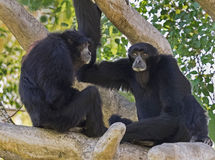 Siamang Gibbons Communicating. The Siamang are the largest species of gibbons and are native to Malaysia and Indonesia.  They are known for their loud Stock Photography