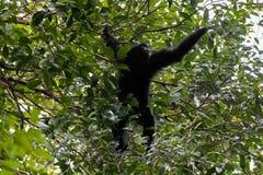 Siamang, größter Gibbon mit den schwarzen Pelzen, die heraus für Beere t erreichen Lizenzfreie Stockfotografie