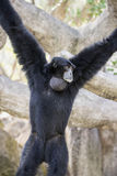 Siamang Hanging from Tree Branches Stock Photo