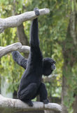 Siamang Hanging from Tree Branches Royalty Free Stock Images