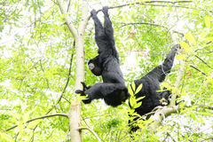 Siamang  inflate neck pouch Royalty Free Stock Photography