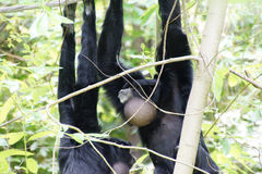 Siamang  inflate neck pouch Stock Photos