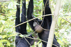 Siamang  inflate neck pouch Royalty Free Stock Photos