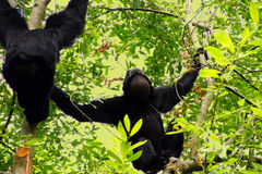 Siamang  inflate neck pouch Stock Images