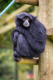 Siamang Stock Photo