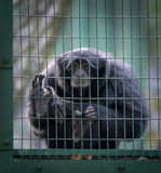 Siamang monkey in a cell Royalty Free Stock Photo