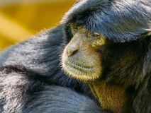 Siamang Schwarz-mit Pelz besetzt Gibbon Lizenzfreies Stockfoto