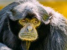 Siamang Schwarz-mit Pelz besetzt Gibbon Stockbild