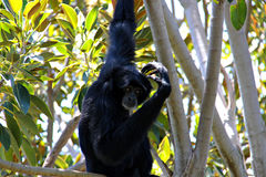 Siamang Scratching Head. Siamang Scratching its Head - Symphalangus syndactylus Stock Photography