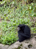 Siamang sitting on a rock Stock Photos