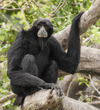 Siamang Sitting in Tree Royalty Free Stock Photos