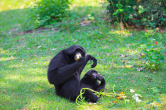 Siamang (Symphalabgus syndactylus) Royalty Free Stock Images
