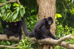 Siamang Symphalangus syndactylus. Adult male on a tree, in Singapore Zoo Stock Photo