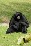 Siamang Symphalangus syndactylus. Beautiful Siamang Symphalangus syndactylus sitting on ground Stock Photography
