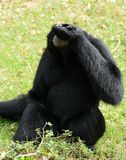 Siamang Symphalangus syndactylus. Beautiful Siamang Symphalangus syndactylus sitting on ground Stock Images