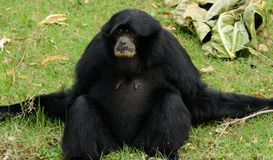 Siamang Symphalangus syndactylus. Beautiful Siamang Symphalangus syndactylus sitting on ground Royalty Free Stock Photo