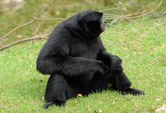 Siamang Symphalangus syndactylus. Beautiful Siamang Symphalangus syndactylus sitting on ground Stock Photo